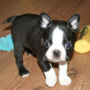 Very young american bulldog boston terrier pup.PNG