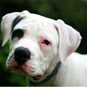 White American Bull dog puppy with black eye.PNG