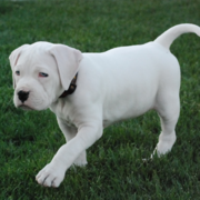 White american bulldog breeding on the green grass.PNG