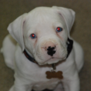 White american bulldog photo.PNG