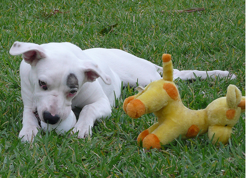 White American Bulldog puppy playing on the grass.PNG
