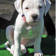 White american bulldog terrier puppy photo.PNG