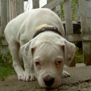 White classic american bulldog pup.PNG