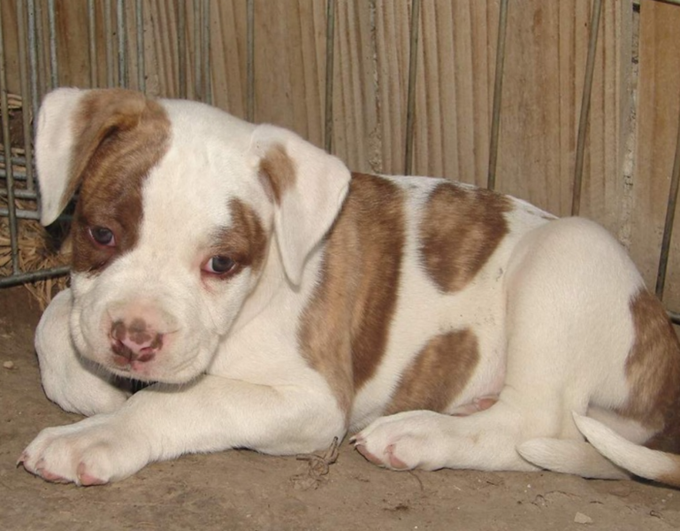 American Bulldog puppy in white with tan dots.PNG