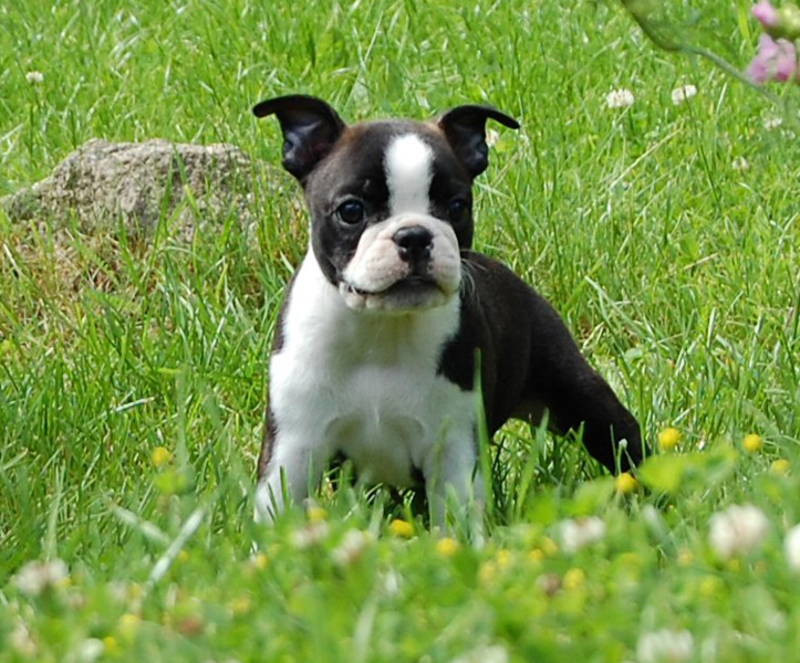 Black and white american bulldog boston terrier puppy ...