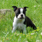Black and white american bulldog boston terrier puppy playing on the grass.PNG