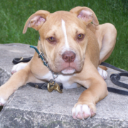 brown american bulldog puppy.PNG