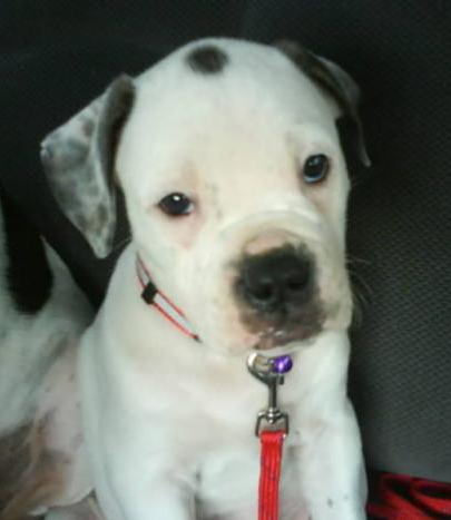Cute puppy picture of American bulldog in white and black dots.PNG