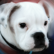 Image of american boxer bulldog puppy.PNG