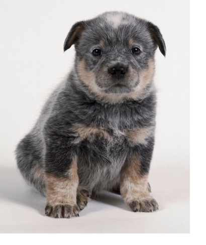 Dog Australian Cattle puppy picture.PNG