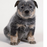 Australian Cattle Dog Puppies Gallery