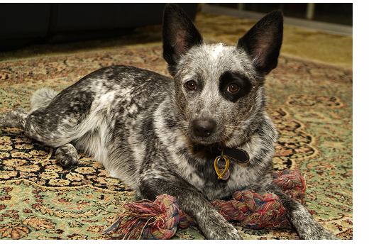 Australian Cattle puppy with cool circle around the eye.PNG