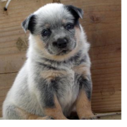 Beautiful Australian Cattle puppy image.PNG