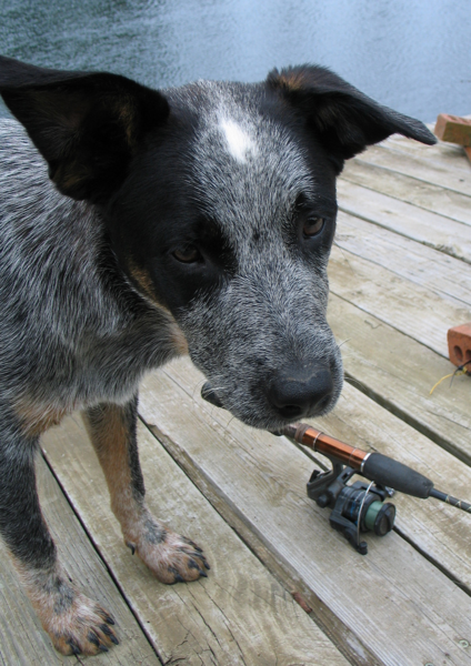 Cute puppy photo of Australian Cattle dog.PNG