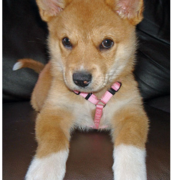 Golden Australian Cattle puppy with white  color.PNG