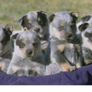 Groupo of Australian Cattle pups.PNG