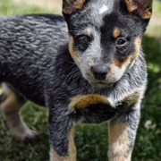Image of Australian Cattle dog pup.PNG