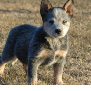 Image of Australian Cattle dog puppy.PNG