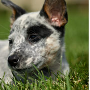Images of Australian Cattle puppy in white and black with some tan color.PNG