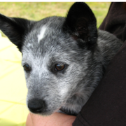 Images of Australian Cattle puppy in white, gray and black.PNG