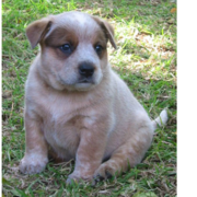 Light tan Australian Cattle puppy is pretty chubby and cute.PNG