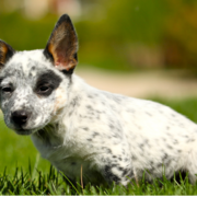 Photo of Australian Cattle puppy in white and black dots.PNG