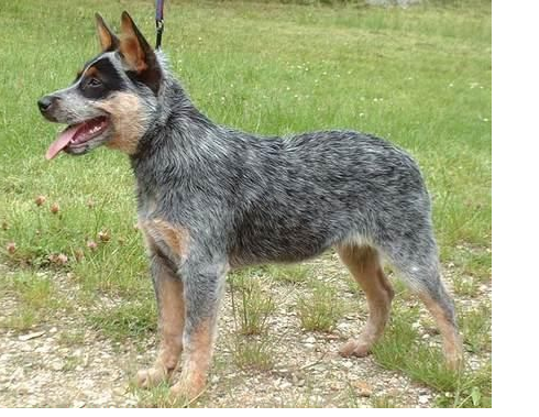 Pretty Australian Cattle dog photo.PNG