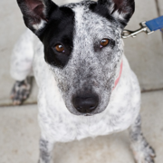 Puppy face of a Australian Cattle dog pictures.PNG