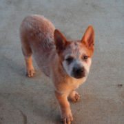 Tan Australian Cattle dog with white lines looking straight up to the camera.PNG