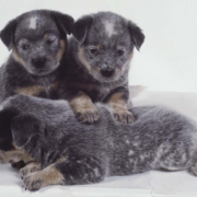 Three Australian Cattle puppies in greyish color.PNG