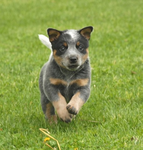 Three colors Australian Cattle puppy on running on the grass.PNG
