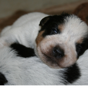 Very sweet puppy face looking straight at the camera_Australian Cattle dog picture.PNG