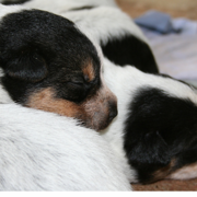 Very young Australian Cattle puppies in white and black heads.PNG