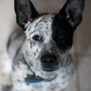 White and black Australian Cattle pup looking straight up to the camera.PNG