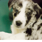 White Australian Cattle puppy with black spots.PNG