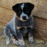 Young puppy of Australian Cattle dog.PNG