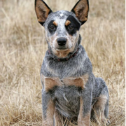 Australian Cattle Dog Pup iamges.PNG