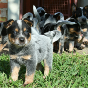 Australian Cattle puppies pictures.PNG