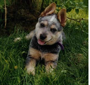 Australian Cattle puppy chilling out on the grass.PNG