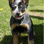 Australian Cattle puppy pics.PNG