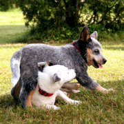 Australian Cattle puppy playing.PNG