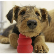 Airedale puppy with its red cone dog toy.PNG