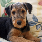 Airedale puppy relaxing on the coach.PNG