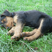 Airedale puppy sleeping on the grass in the sun.PNG
