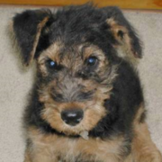 Airedale Terrier Puppy photo.PNG