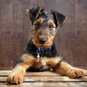 Airedale terrier puppy photos.PNG