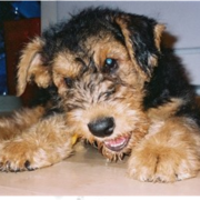 Airedale Terrier Puppy picture.PNG