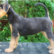 Big Airedale puppy pix.PNG