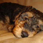 Chilling young Airedale puppy photos.PNG