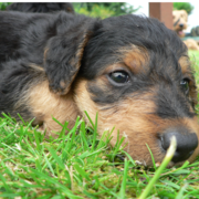 Close up image of Airedale puppy laying on the grass.PNG